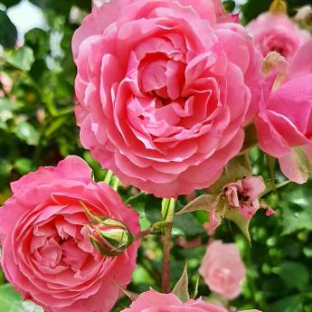Pirontina rosier grimpant petites fleurs