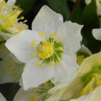 vivace Helleborus niger ou rose de noël
