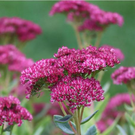 Sedum spectabile Purple Emperor