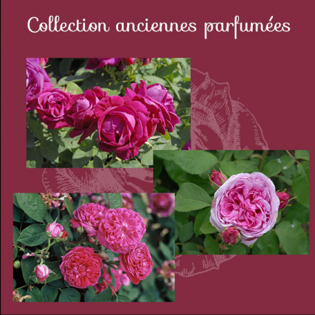 Collection ANCIENNES PARFUMEES