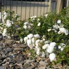 Xavier Beulin® Evefaida rosier blanc