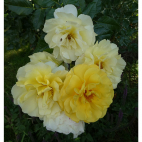 Rosier academie d'Orleans Roses André Eve