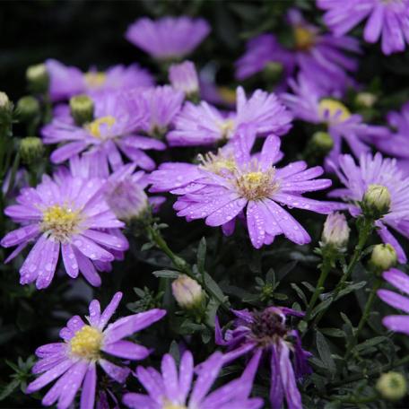 Aster violet dumosus Starlight