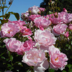 Jardin de la Javelière® rosier buisson rose