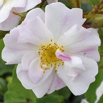 Rosée du Matin® 'Evematch'