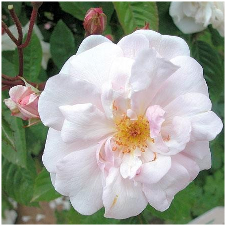 Marie Pavie rosier blanc