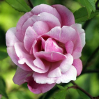 Old Blush (rosier du Bengale rose)