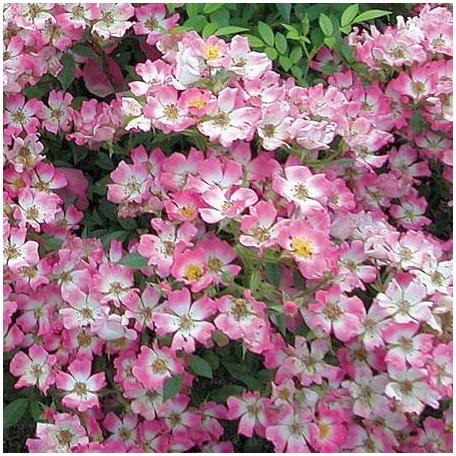 Pink Spray® 'Lenspra'
