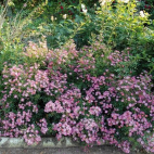 Pink Spray® 'Lenspra'