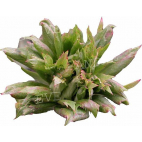 R. chinensis Viridiflora