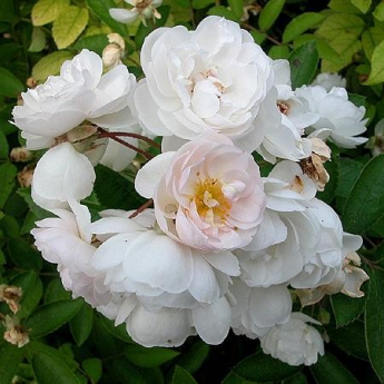 R. multiflora Nana