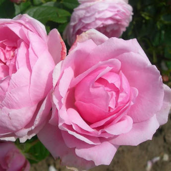 ANDRE EVE, Le Jardinier des Roses Evegeboll