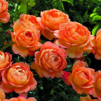 Lady of Shalott® 'Ausnyson'