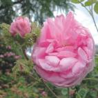 R. x centifolia cristata