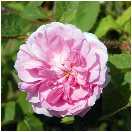 R. x centifolia muscosa