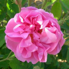 Rosier Rose de Mai