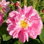 Rosier arbuste Rose de Mai