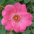 Rosier arbuste rosa Davidii