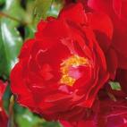 Moraya Rouge® 'Evemor'