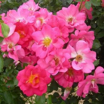 Rose Bonbon® 'Evefrais'