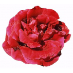 Crimson Glory CLG