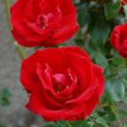 Guirlande Fleurie® 'Robguir'