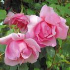 Lijiang Rose (Lijiang Road Rose)