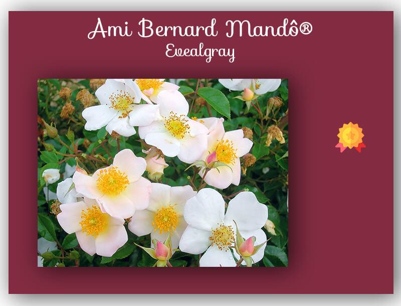 concours de roses ami Bernard Mandô