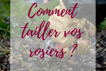 Comment tailler vos rosiers ?